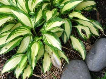 variegated-hosta-leaves-stones